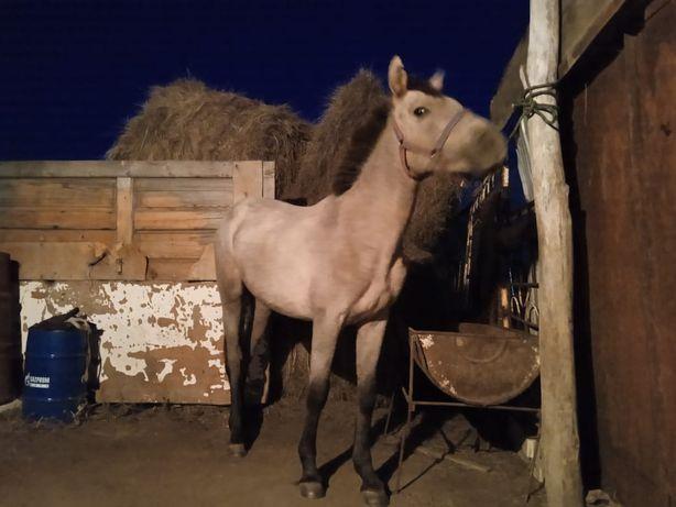 Продам лошадь, 2 года(Құнан).
