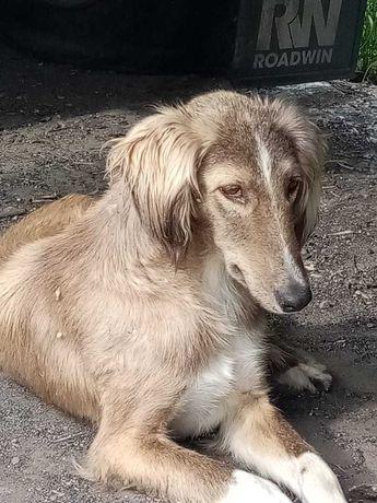 Найдена борзая собака р-н Водоканала/Понтонный мост