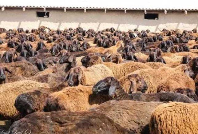 Продажа плем МРС бараны овцы ягнята от 3.мес до 8.мес