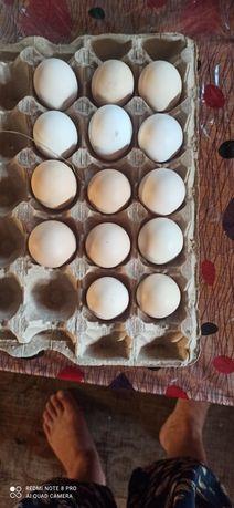 Свежие куриные яйца