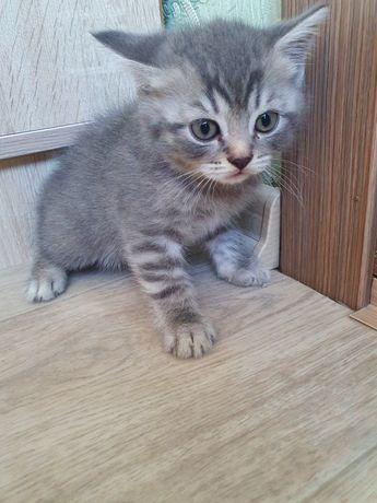 Красивый шотландский прямоухий котик