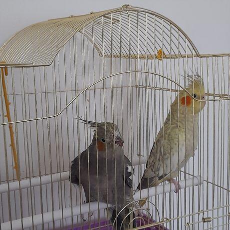 Продам срочно пару попугаев Корелла