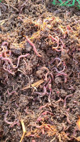 Красный калифорниский черви