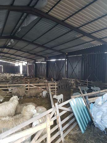 Vând sevani pentru oi