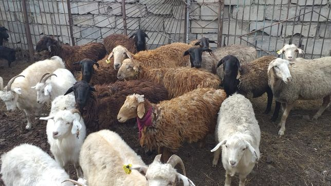 Продам ,коз,баран,тоқты