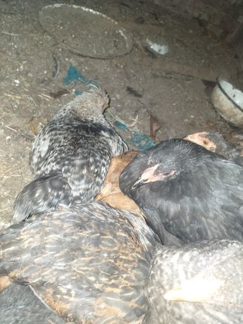 Цыплята домашние 4 месяца