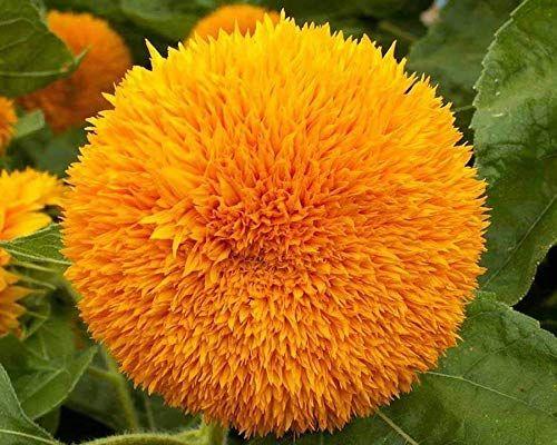 Semințe floarea soarelui ornamentală ursuleț