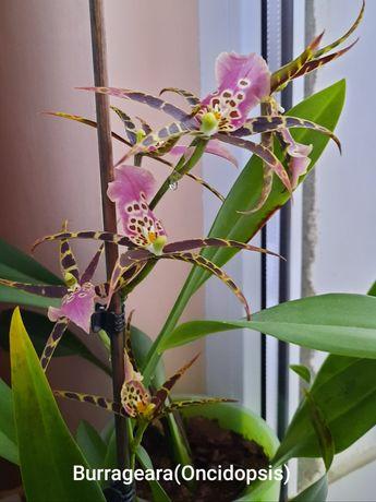 Orhidee Burrageara