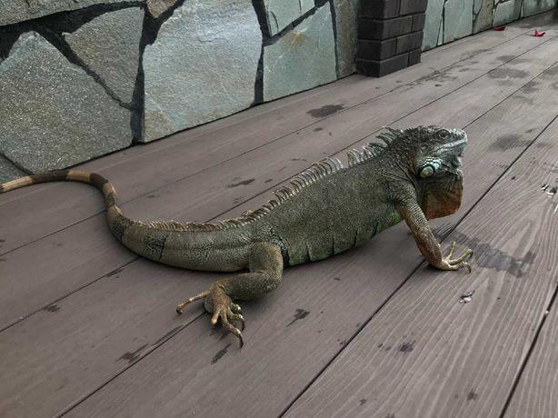 Игуана рептилия мальчик