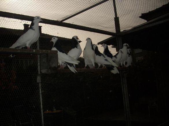 продавам гълъби високо летци
