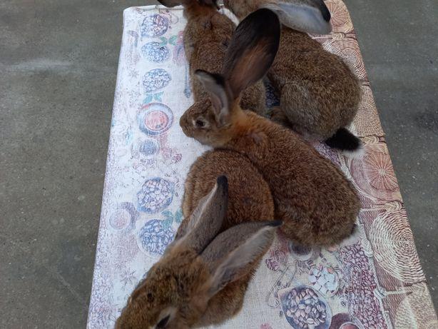Vand iepuri uriași german