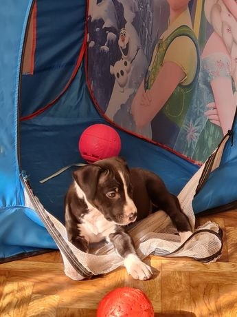 Питбультерьер щенок