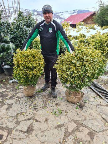 Vand plante ornamentale producador