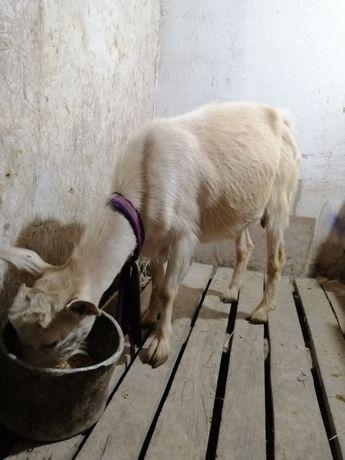 Продам козу молочного направления