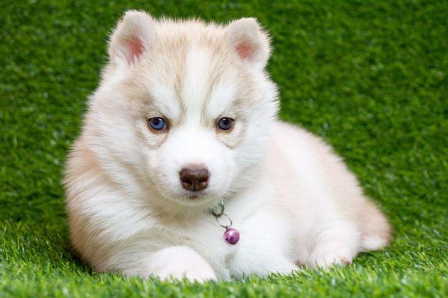 Бомбические щенки Сибирский хаски ждут своего человека !