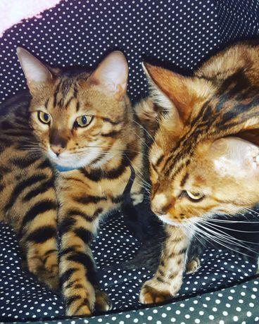 Бенгальский кот на вязку