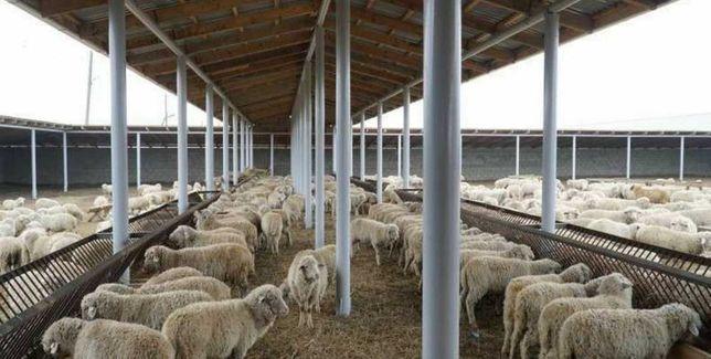 Баран овцы ягнята бычки