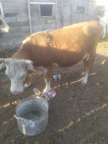 Продам корову смесь!
