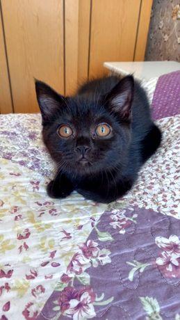 Кошка британская с отл.родословной