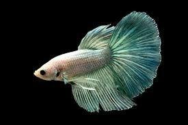 Аквариумный рыбка петушок