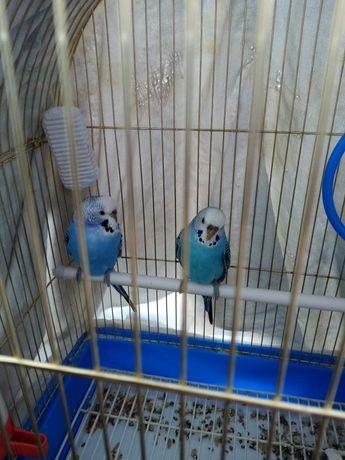 Попугаи обмен на самцов