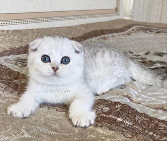 Предлагаются шотландские котята от титулованных родителей