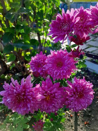 Многолетние цветы, сирень сортовая