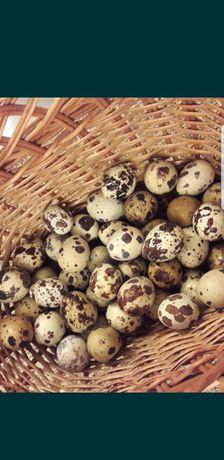Ouă de prepelite