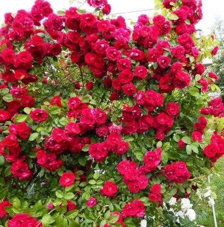Розы - Саженцы, плетистые 1500 тенге Вьющиеся, плетущиеся.