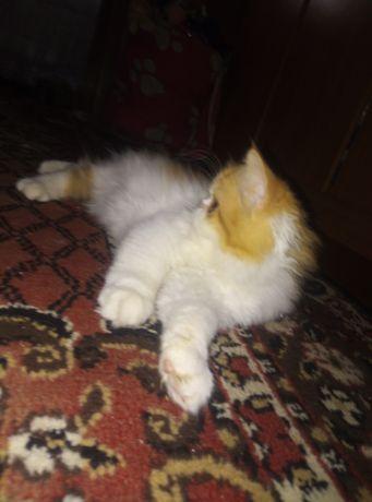 Кошечка персидская