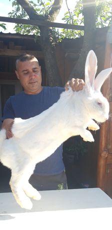 Vănd iepurii uriaș alb