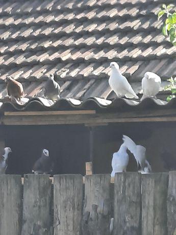 Бели гълъби за сватба , бал,кръщене 7лв бр