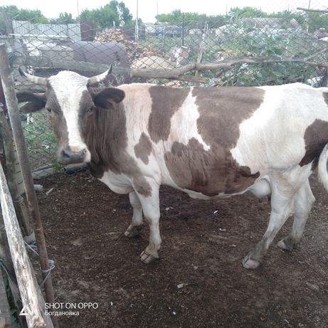 Продается корова, 8-летка