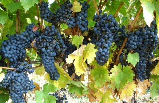Struguri de vin (resling,feteasca, Tamaioasa Românească