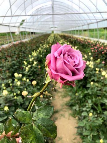 Trandafiri tăiați