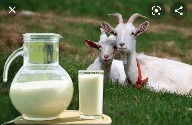 Кози молоко без запоха, густое незамен. для груд.ребен. и.т.д.интер.чи