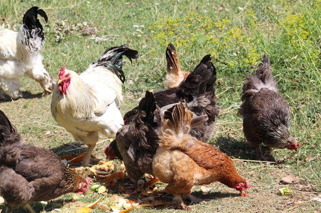 Куры домашние разноцветные, только обмен на гусей взрослых