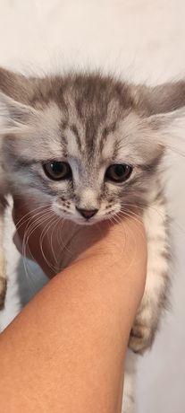 Котенок 2месяца.кошечка.смесь мама британка.папа дворовый кот.