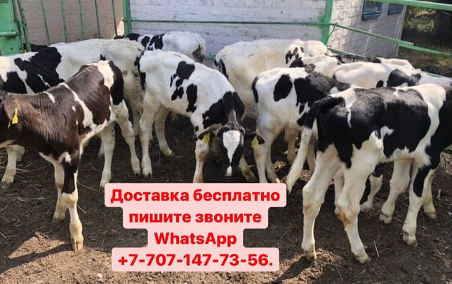Бычки телята тёлки коровы