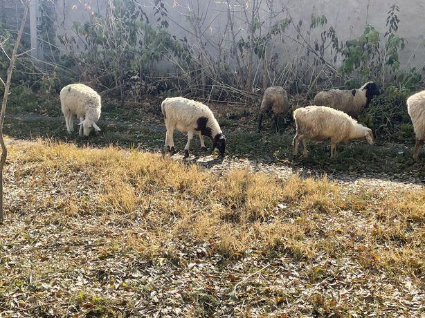Ягнята 4.5 месяца корма сено кушают
