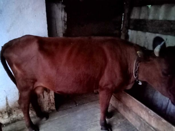 Продам корову Цена договорная