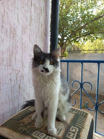Продам кота, порода: Мейн Кун