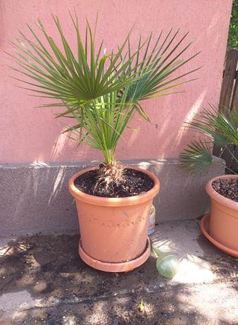 palmierul doamnei