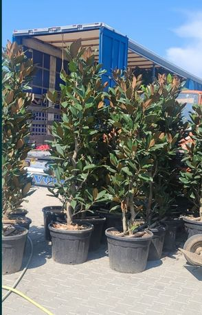 Magnolia grandi flora/ pin mugo brad/ artar roșu japonez