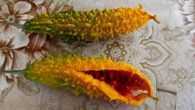 Seminte castravete amar (Soiul Indian)