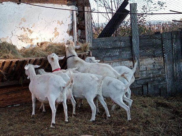 Turma de 11 capre saanen vand sau schimb