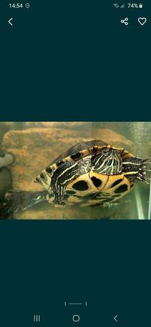 Продам черепаха красноухая 2 шт за 5000 тг срочно