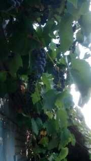 Виноград местный ,,Изабелла,,
