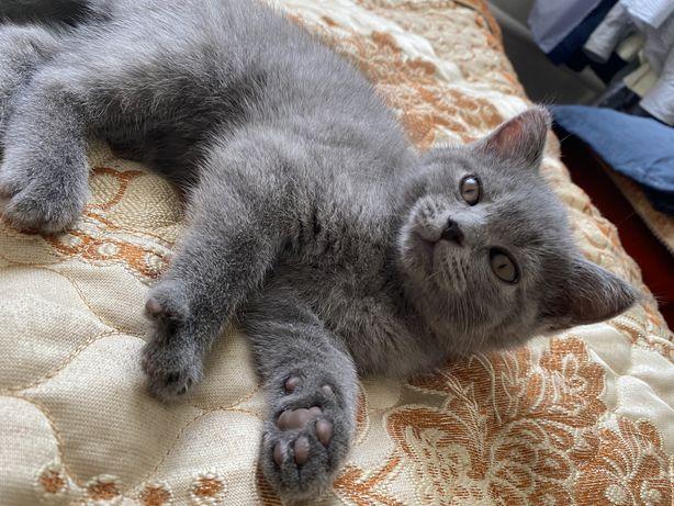 Британец, котенок 2 месяца