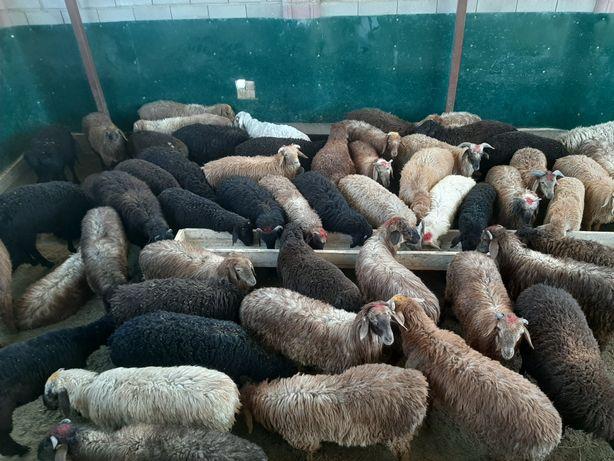 Кой токты тусак кошкар баран овцы
